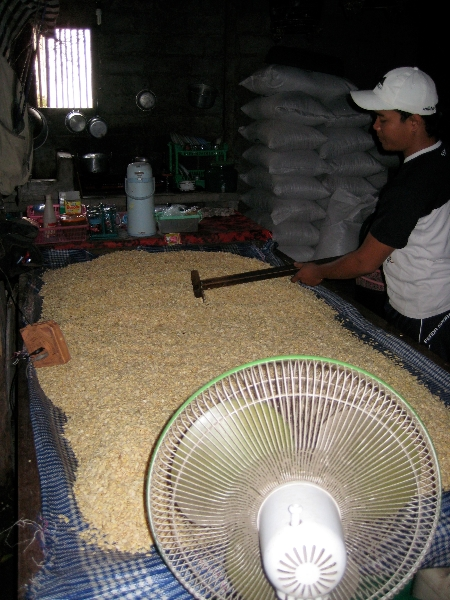 Cooked soybeans spread out to dry and cool