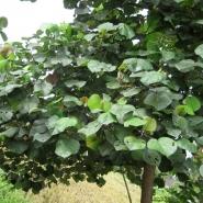 Waru tree (Hibiscus tiliaceus).