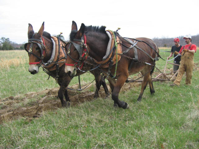 mules-at-morning-side-farm-023