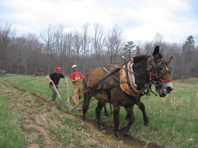 mules-at-morning-side-farm-050