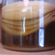 Kombucha with many-layered mother.