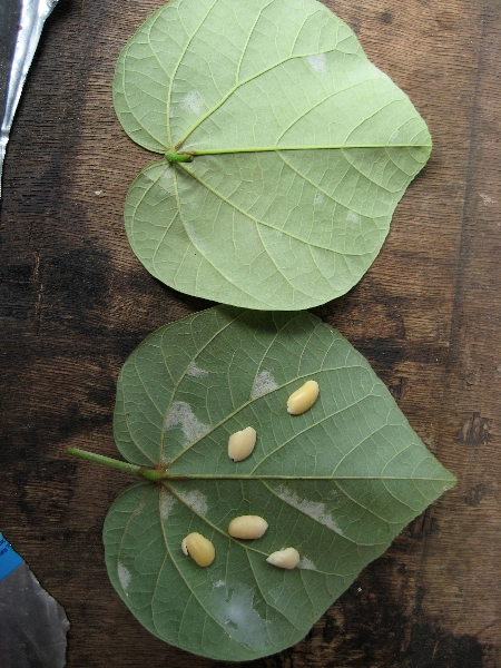 Fresh waru leaves, with inoculated soybeans placed to illustrate how molded leaves are prepared.