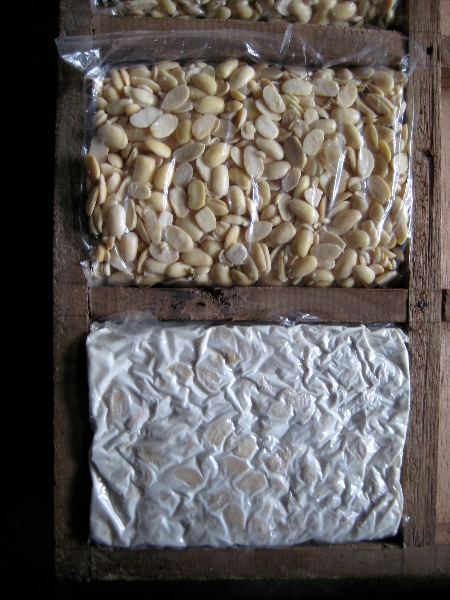 Freshly bagged inoculated beans and mature tempeh, side-by-side.